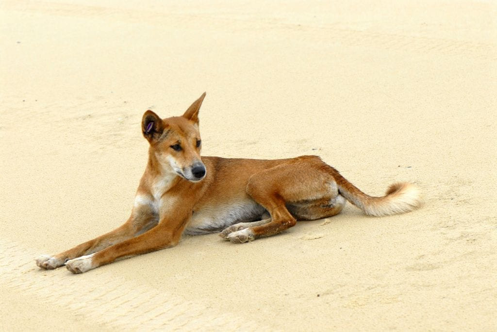 How to not be eaten by a Dingo … and save a Dingo's life too