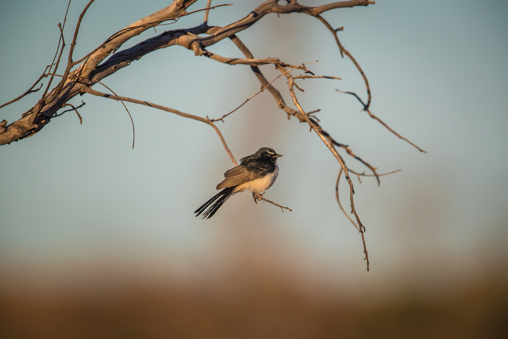 Willie Wagtail: Species Spotlight