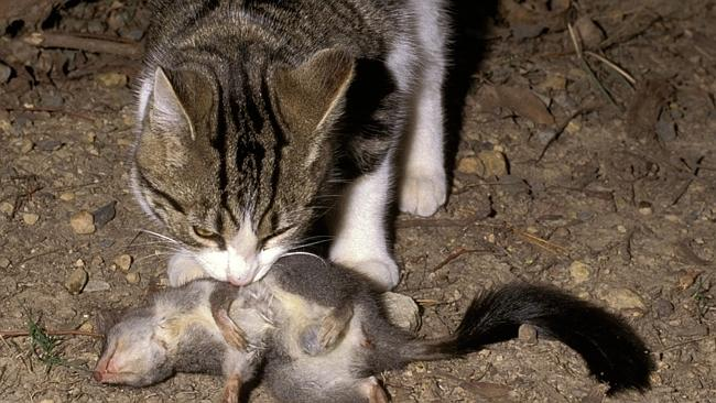 The impact of feral cats on native wildlife cannot be underestimated.