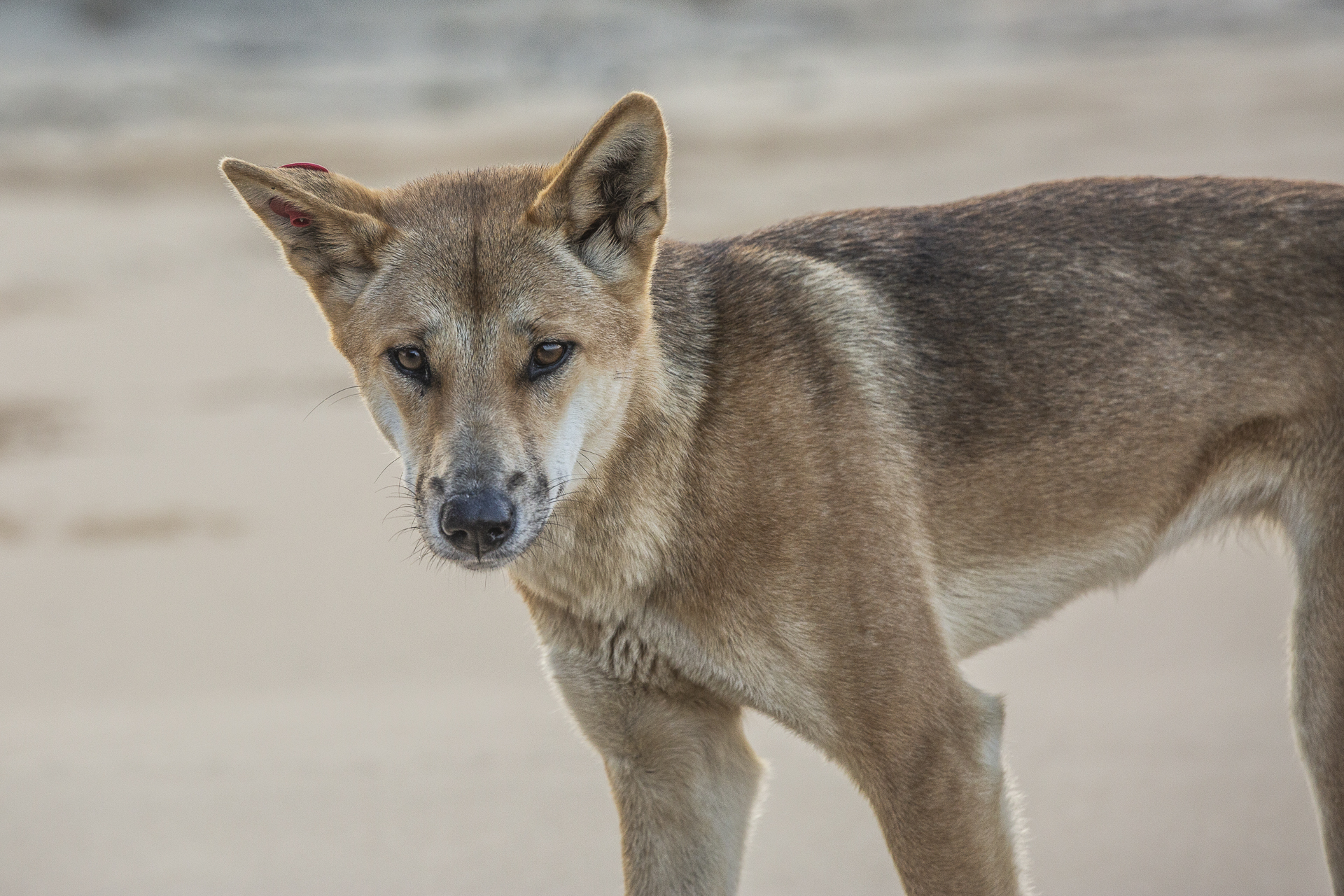 Dingoes are wild animals: Be dingo safe!