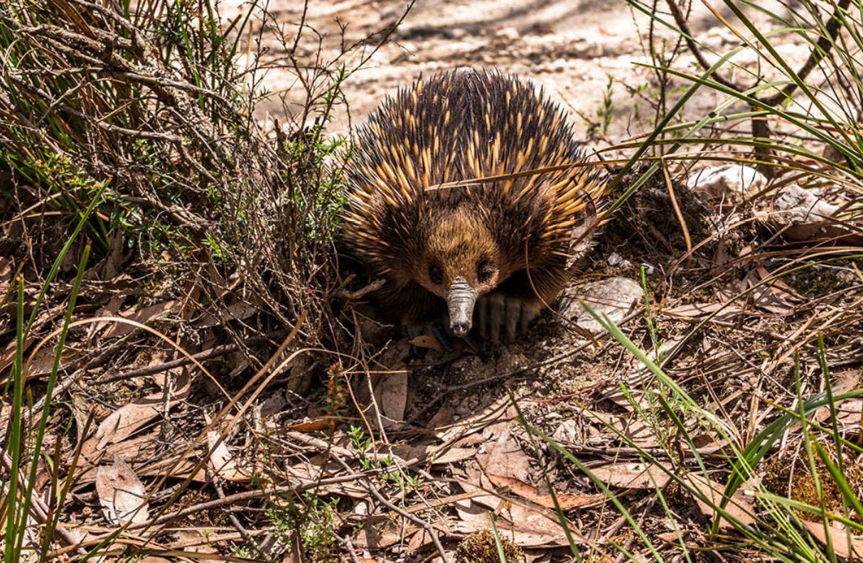 Wombat Lerderderg 3